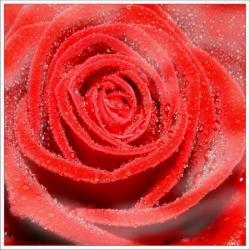 rose_rosee[1].jpg